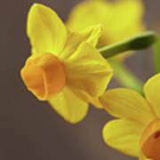 Daffodil Sunrise Poster