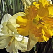 Daffodils 4 Poster
