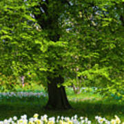 Daffodils And Narcissus Under Tree Poster