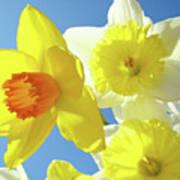Daffodils Art Print Floral Sky Bouquet Daffodil Flower Baslee Poster