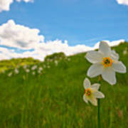 Daffodils Blossimg At Cavalla Plains 2017 IIi - Fioritura Dei Narcisi Al Pian Della Cavalla 2017 Poster