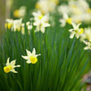 Daffodils In A Bunch Poster