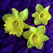 Daffodils On A Purple Quilt Poster
