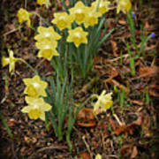 Daffodils With A Purple Flower Poster