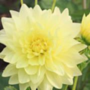 Dahlia Blossom Yellow Poster