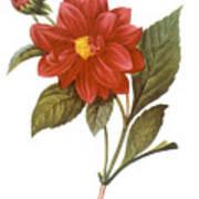 Dahlia (dahlia Pinnata) Poster