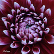 Dahlia Deep Maroon And While V1 Poster
