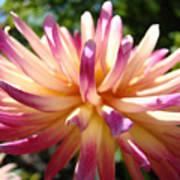 Dahlia Flowers Art Pink Purple Dahlias Giclee Baslee Troutman Poster