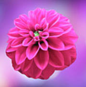Dahlia On Color Poster