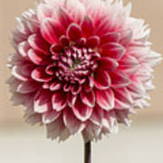 Dahlia- Pink And White Poster