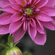 Dahlia With Dew In Pink Poster