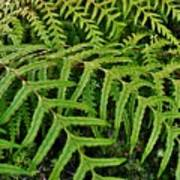 Dainty Fronds Poster