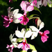 Dainty Orchids Poster