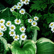 Daisies And Hosta In Colour Poster