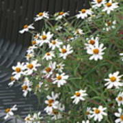 Daisies By The Bench Poster