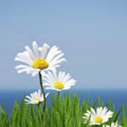 Daisies On A Cliff Edge Poster
