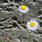Daisy Fleabane Flowers Poster