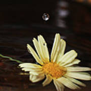 Daisy With Water Droplet Poster