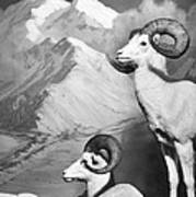 Dall Sheep Poster