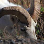 Dall Sheep Ram  Poster