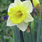 Dallas Daffodils 64 Poster
