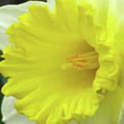 Dallas Daffodils 72 Poster