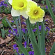 Dallas Daffodils 78 Poster