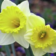 Dallas Daffodils 79 Poster