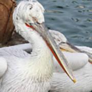 Dalmatian Pelican #3 Poster