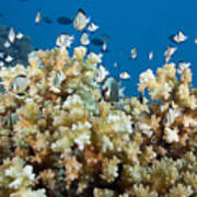 Damselfish Among Coral Poster by Dave Fleetham - Printscapes
