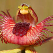 Dancing Spider Orchid Poster