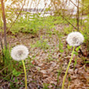 Dandelion Close To The River Poster