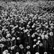 Dandelion Field In Black And White Poster