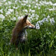 Dandelion Fox Poster