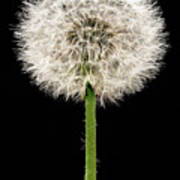 Dandelion Gone To Seed Poster