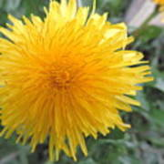Dandelion In Bloom Poster