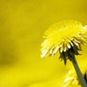 Dandelion In Yellow Poster