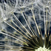 Dandelion Seed Head Poster by Ryan Kelly