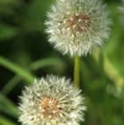 Dandelion Seed Heads Poster