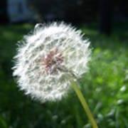 Dandelion Seeds 101 Poster