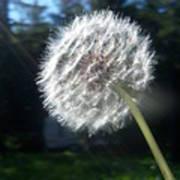 Dandelion Seeds 102 Poster