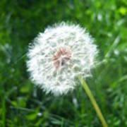 Dandelion Seeds 103 Poster