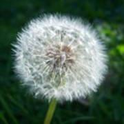 Dandelion Seeds 107 Poster