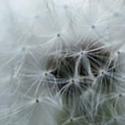 Dandelion Seeds Close-up Poster