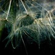 Dandelion Thirty Two Poster