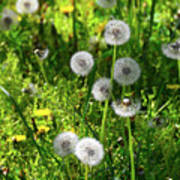 Dandelions On The Maryland Appalachian Trail Poster
