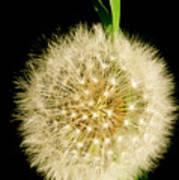 Dandelion's Seed Head. Poster