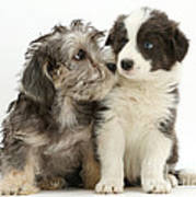 Dandy Dinmont Terrier And Border Collie Poster