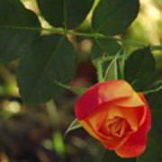 Dangling Rose Poster