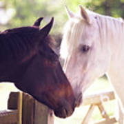 Dark Bay And Gray Horse Sniffing Each Other Poster